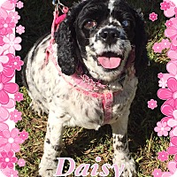 Cocker Spaniel Dog for adoption in Greensboro, Maryland - Daisy