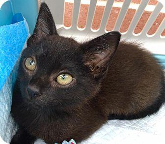 Domestic Shorthair Kitten for adoption in Smithtown, New York - Kahlua