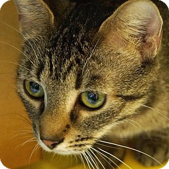 Domestic Shorthair Cat for adoption in Sprakers, New York - Jayna