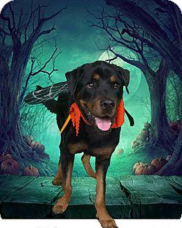 Rottweiler Dog for adoption in Gilbert, Arizona - Francis