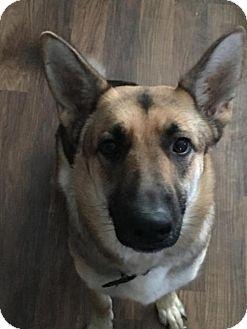 German Shepherd Dog Dog for adoption in Greensboro, North Carolina - Duchess(CL)