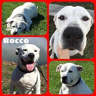 American Bulldog Mix Dog for adoption in Louisiana, Missouri - Rocco