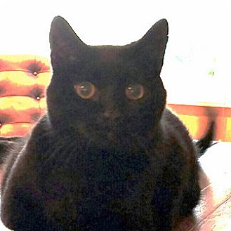 Domestic Shorthair Cat for adoption in Fairfax, Virginia - Banks