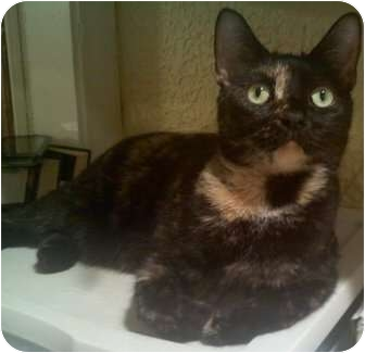 Domestic Shorthair Cat for adoption in Harrisburg, North Carolina - Sasha