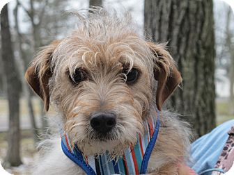 Wirehaired Fox Terrier Mix Puppy for adoption in Harrisonburg, Virginia - Toby