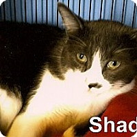 Adopt A Pet :: Shadow - Medway, MA