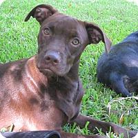 Adopt A Pet :: Laura Ingalls - Albany, NY