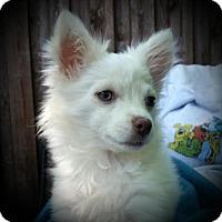 Adopt A Pet :: Gidget - Puppy - Dallas, TX