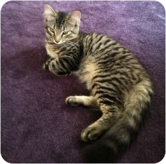 Maine Coon Kitten for adoption in Quincy, Massachusetts - Prince
