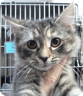 Domestic Mediumhair Kitten for adoption in St. Petersburg, Florida - Fluffy Muffy
