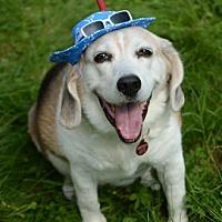 Adopt A Pet :: Max Howard - Waldorf, MD