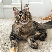 Adopt A Pet :: Navi - St. Louis, MO