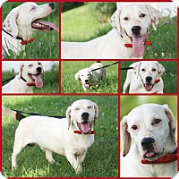 Labrador Retriever/Basset Hound Mix Dog for adoption in Marion, Kentucky - Roscoe