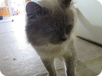 Himalayan Cat for adoption in Coos Bay, Oregon - Winston