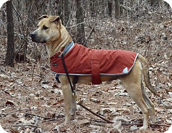 Shepherd (Unknown Type) Mix Dog for adoption in Millersville, Maryland - Romeo