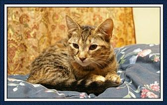 Domestic Shorthair Cat for adoption in Island Heights, New Jersey - Jay Jay