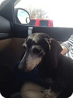 Dachshund Dog for adoption in Byhalia, Mississippi - Molly