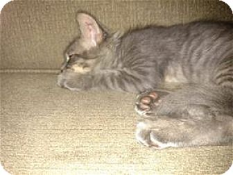 Domestic Shorthair Kitten for adoption in Rocklin, California - Ranger