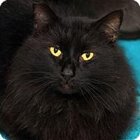Adopt A Pet :: Bear - Lincoln, CA