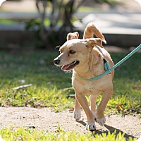 Rat Terrier Mix Dog for adoption in La Jolla, California - Polo