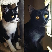 Adopt A Pet :: Cookie & Shadow - Mission Viejo, CA