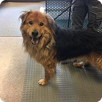 Adopt A Pet :: Chief - Gardnerville, NV