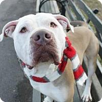 Adopt A Pet :: Jacob - Ridgefield, CT