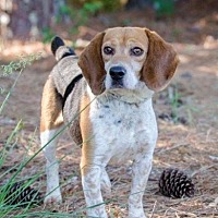 Adopt A Pet :: Basil - Winder, GA