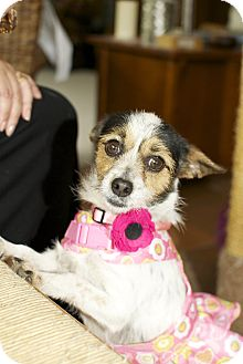Jack Russell Terrier/Chihuahua Mix Dog for adoption in Burbank, California - Claire De Lune