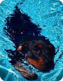 Doberman Pinscher/Australian Shepherd Mix Puppy for adoption in Scottsdale, Arizona - Levi