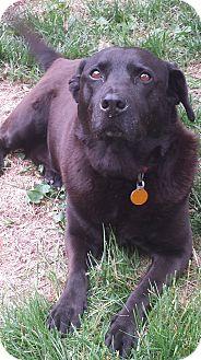 Labrador Retriever Mix Dog for adoption in Manchester, New Hampshire - Blackie