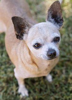 Chihuahua Dog for adoption in El Cajon, California - Dixie