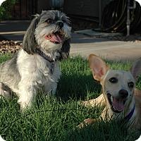 Chihuahua Mix Dog for adoption in Gilbert, Arizona - Tutau