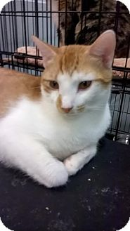 Domestic Shorthair Cat for adoption in Westminster, California - Putzie