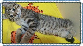 Domestic Shorthair Kitten for adoption in Okotoks, Alberta - John