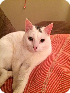 Domestic Shorthair Cat for adoption in Brooklyn, New York - Jack