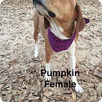 Adopt A Pet :: Pumpkin-pending adoption - Manchester, CT