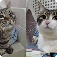 Adopt A Pet :: Izzy and Rosie-BONDED PAIR of CUDDLY SISTERS! - Howell, MI