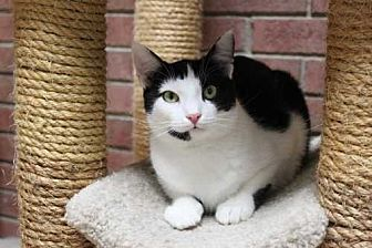 Domestic Shorthair Cat for adoption in East Brunswick, New Jersey - Coco