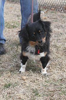 Spaniel (Unknown Type) Mix Dog for adoption in Wichita, Kansas - Princess
