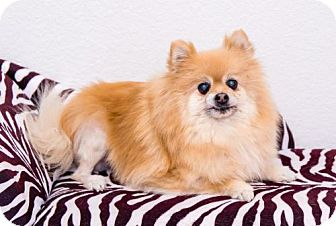 Pomeranian Dog for adoption in Dallas, Texas - Mena