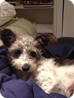 Terrier (Unknown Type, Small) Mix Puppy for adoption in Vancouver, British Columbia - Pixie