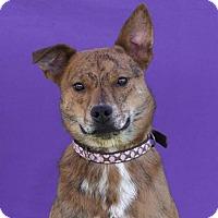 Adopt A Pet :: Bambi - Toluca Lake, CA