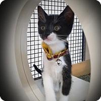 Adopt A Pet :: Miss Kitty - Richmond, VA