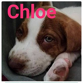 Hound (Unknown Type)/Labrador Retriever Mix Puppy for adoption in Huntington, Indiana - Chloe