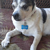Chihuahua Mix Dog for adoption in Corona, California - LUCY