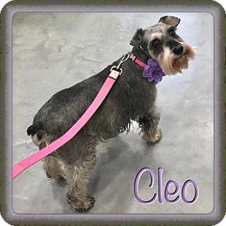 Miniature Schnauzer Dog for adoption in Houston, Texas - Cleo