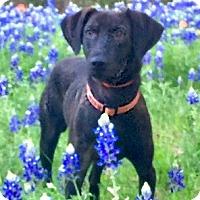 Adopt A Pet :: Aspen - McKinney, TX