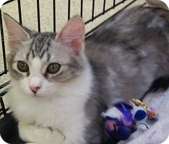 Domestic Shorthair Cat for adoption in Modesto, California - Lacy