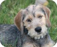 Schnauzer (Miniature) Mix Puppy for adoption in Russellville, Kentucky - Milo